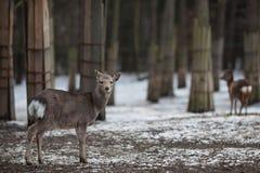 Sika deer. (lat. Cervus nippon Royalty Free Stock Photo