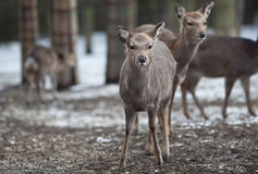 Sika deer. (lat. Cervus nippon Royalty Free Stock Image