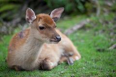 Sika deer. (lat. Cervus nippon) doe Stock Image
