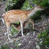 Sika deer. (lat. Cervus nippon) doe Stock Photography