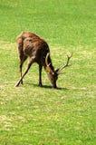 Sika deer. Grazing Sika deer on grass Stock Image
