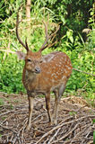 Sika deer. The Sika deer is one of the few deer species that does not lose its spots upon reaching maturity. Spot patterns vary with region Stock Photos