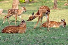 Free Sika Deer Stock Images - 20833014