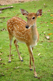 Sika deer. The Sika deer is one of the few deer species that does not lose its spots upon reaching maturity Stock Photography