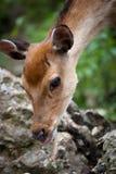 Sika deer. (lat. Cervus nippon) doe Stock Photo