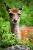 Sika deer royalty free stock photography