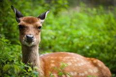Sika deer Royalty Free Stock Image
