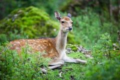Sika deer. (lat. Cervus nippon) doe Royalty Free Stock Image