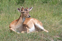 Sika deer. Resting in the grass Stock Image