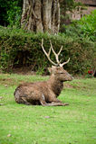 Sika deer Royalty Free Stock Image