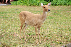 The Sika Deer Stock Images
