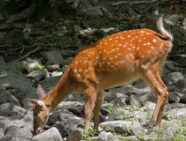 Sika Deer 5 Stock Photography