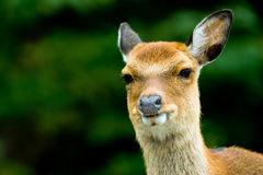 Sika deer. (lat. Cervus nippon), focus is on the eyes Stock Photos