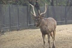 Sika deer. Adult male Sika deer (Cervus nippon) in New Delhi zoo Stock Images