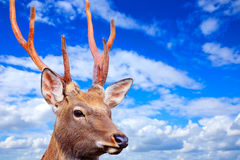 Sika deer against sky Royalty Free Stock Photos