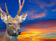 Sika deer against sunset sky Stock Photos