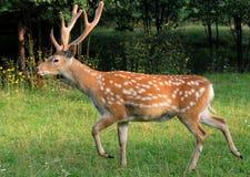 Sika deer. Stock Images