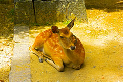 Sika Deer is bathing in the sun. Royalty Free Stock Photo