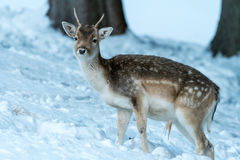 Sika deer with blurry backgound in wild nature of forrest in win Stock Images