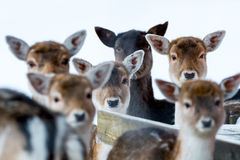 Sika deer with blurry backgound in wild nature of forrest in win Stock Image