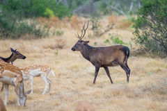 Sika Deer Buck Royalty Free Stock Photography