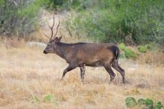 Sika Deer Buck Stock Image