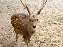 Sika deer buck Royalty Free Stock Images