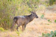 Sika Deer Buck Stock Photography