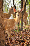 Sika deer Royalty Free Stock Photo