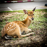 Sika deer in car park Royalty Free Stock Photo