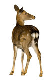 Sika Deer, Cervus nippon Royalty Free Stock Image
