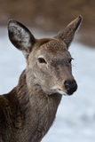 Sika Deer, Cervus nippon Royalty Free Stock Photography