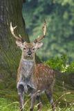 Sika Deer  (Cervus nippon) Royalty Free Stock Image