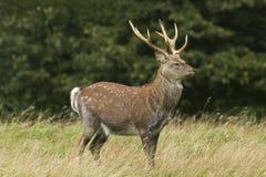 Sika Deer  (Cervus nippon). Closeup in long grass Royalty Free Stock Photos
