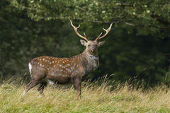 Sika Deer  (Cervus nippon) Royalty Free Stock Photos