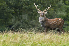 Sika Deer  (Cervus nippon) Stock Photos
