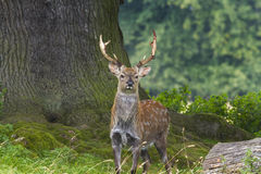 Free Sika Deer (Cervus Nippon) Royalty Free Stock Photography - 32774177