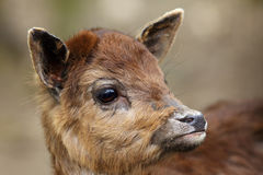 The sika deer Cervus nippon also as the spotted deer or Japane. Se deer, portrait of the young animal stock image