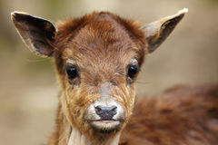 The sika deer Cervus nippon also as the spotted deer or Japane. Se deer, portrait of the young animal royalty free stock photos
