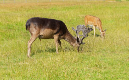 Sika deer. (Cervus nippon, also known as spotted deer or Japanese deer Stock Photography