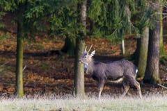 Sika deer - Cervus nippon. Deer European, shooting in the wild Royalty Free Stock Photo