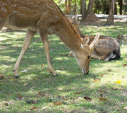 Sika deer, Cervus nippon Stock Images