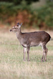 Sika deer, Cervus nippon, Stock Photos