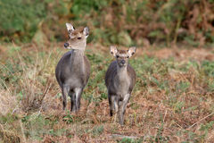 Sika deer, Cervus nippon, Royalty Free Stock Photography