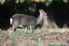 Sika deer, Cervus nippon, Royalty Free Stock Image