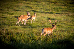 Sika Deer. (Cervus nippon) females and one male Royalty Free Stock Images