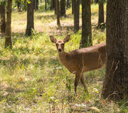 Sika Deer, Cervus nippon, in forest, Stock Image