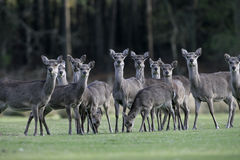 Sika deer, Cervus nippon, Royalty Free Stock Photos