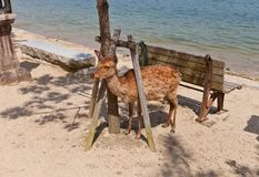 Sika deer (Cervus nippon) on Itsukushima island, Japan Royalty Free Stock Photo