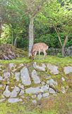 Sika deer (Cervus nippon) on Itsukushima island, Japan Royalty Free Stock Photos